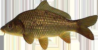 Карп. Торговые аквариумы для продажи живой рыбы. Аквариумы для карпа, толстолобика, осетра, форели, морепродуктов, устриц, омаров.