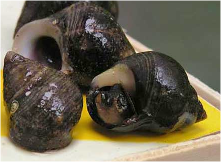 Содержание устриц, омаров, лангустов, крабов, моллюсков, раков в аквариумах. Изготовление аквариумов для содержания моллюсков на заказ.