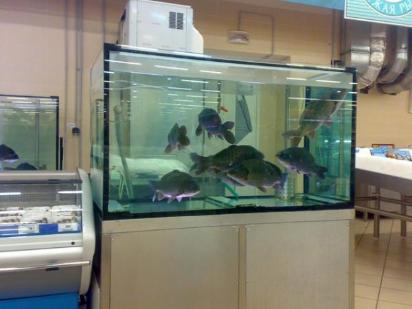 Аквариум для продажи живой рыбы. Аквариумы для продажи морских животных и раков. Аквариум для передержки морских животных в ресторане. Торговый аквариум. Аквариум торговый. Торговые аквариумы для продажи живой рыбы. Аквариумы торговые для живой рыбы. Продажа живой рыбы в ресторанах из аквариумов. Торговый аквариум для морепродуктов. Аквариумы торговые для продажи морепродуктов.